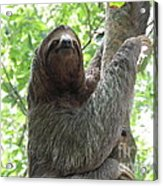 Three Toed Sloth  Acrylic Print