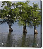 Three Trees Acrylic Print by Cim Paddock