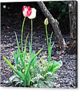 Three Tulips Acrylic Print