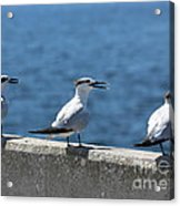 Three Turning Terns Acrylic Print