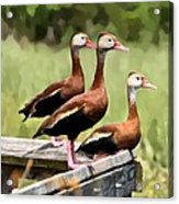 Three Whistling Ducks Acrylic Print