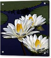 Three White Tropical Water Lilies Version 2 Acrylic Print