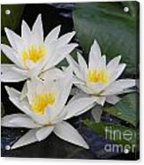 Three White Waterlilies Acrylic Print