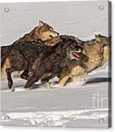Three Wolves Acrylic Print