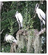Three Wood Storks Acrylic Print
