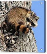 Three Young Raccoons Acrylic Print