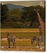 Three Zebras And A Giraffe Acrylic Print