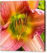 Throat Of Lily Acrylic Print