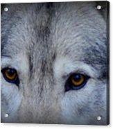 Through A Wolf's Eyes Acrylic Print