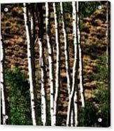 Through The Aspens Acrylic Print