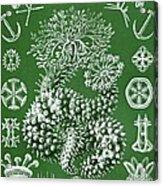 Thuroidea From Kunstformen Der Natur Acrylic Print