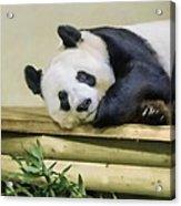 Tian Tian The Giant Panda Acrylic Print