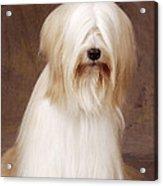 Tibetan Terrier Dog Acrylic Print