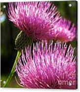 Tickled Thistle Acrylic Print
