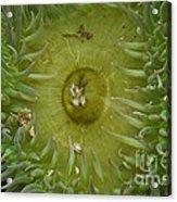 Tidal Pool Anemone Acrylic Print