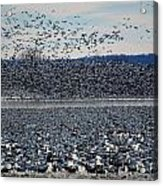 Tidal Wave Of Geese Acrylic Print