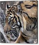 Sumatran Tiger-5418 Acrylic Print