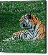 Tiger At Rest 1 Acrylic Print