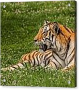 Tiger At Rest 3 Acrylic Print