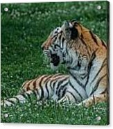 Tiger At Rest 4 Acrylic Print