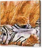 Tiger - Big Cat Acrylic Print
