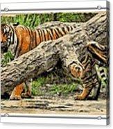 Tiger By The Log Acrylic Print