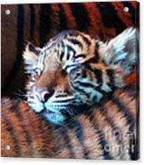 Tiger Cub Nap Acrylic Print