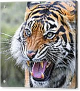 Tiger Growl Acrylic Print