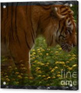 Tiger In The Midst Of Buttercups Acrylic Print