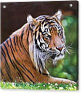 Tiger In The Sun Painting Acrylic Print