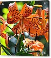 Tiger Lilies Acrylic Print