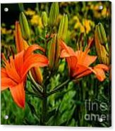 Tiger Lily Blossoms Acrylic Print