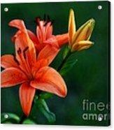 Tiger Lily Enchantment  Acrylic Print