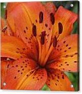 Tiger Lily Acrylic Print