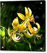 Tiger Lily Acrylic Print by Tammy Wallace