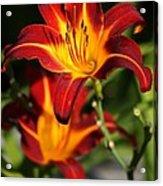 Tiger Lily0243 Acrylic Print