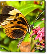 Tiger Mimic Butterfly Acrylic Print