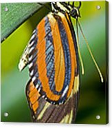 Tiger Mimic Queen Butterfly Acrylic Print