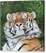 Tiger Nap Time Acrylic Print