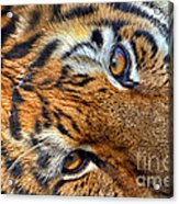 Tiger Peepers Acrylic Print