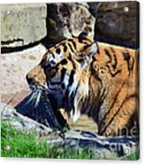Tiger Playing  Acrylic Print
