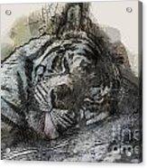 Tiger R And R Acrylic Print
