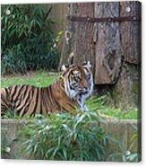 Tiger Resting Acrylic Print