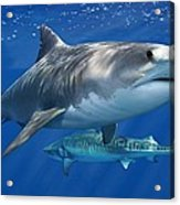 Tiger Shark Acrylic Print
