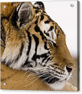 Tiger Sleeping Acrylic Print
