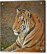 Tiger Stair Acrylic Print