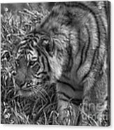 Tiger Stalking In Black And White Acrylic Print