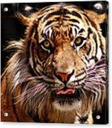 Tiger Stare Acrylic Print