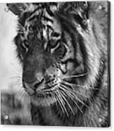 Tiger Stare In Black And White Acrylic Print