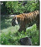Tiger Stroll Acrylic Print